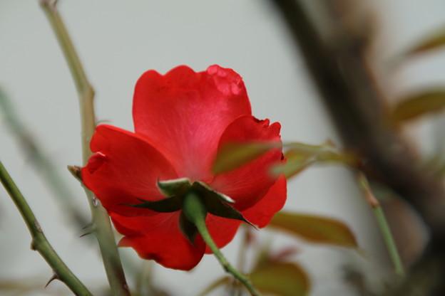 薔薇_花壇 D8518