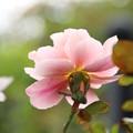 薔薇_横浜 D8543
