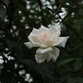 薔薇_横浜 D8588