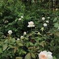 薔薇_横浜 D8591