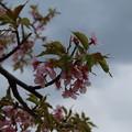 写真: 桜_房総のむら D0274