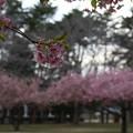 写真: 桜_房総のむら D0281
