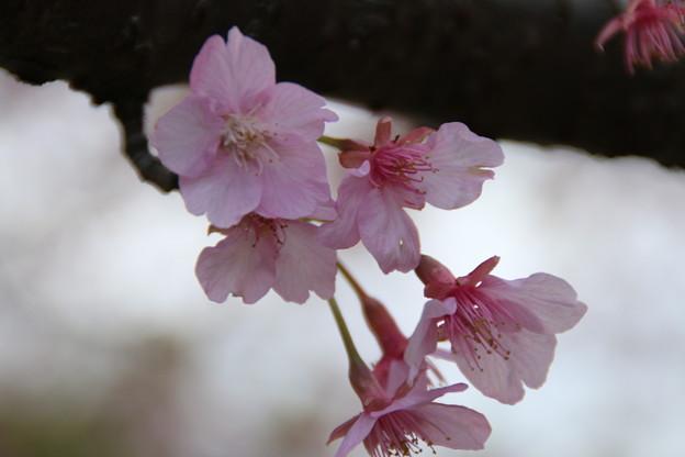 桜_房総のむら D0282