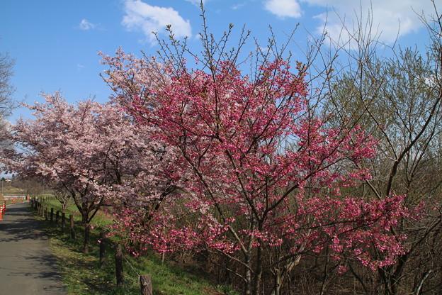 Photos: 桜_公園 D0283