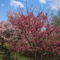 写真: 桜_公園 D0283