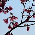 Photos: 桜_公園 D0285