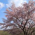 写真: 桜_公園 D0288