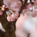 写真: 桜_守谷 D0297