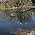 桜_福岡堰 D0560