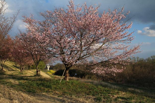 桜_堤防 D0591