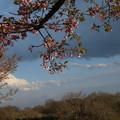 桜_堤防 D0597