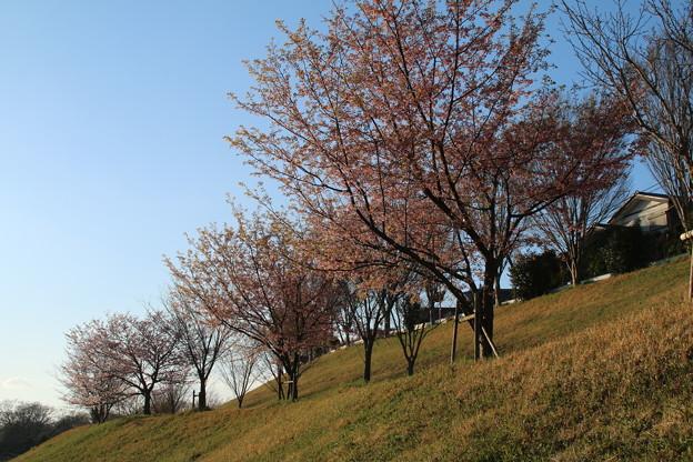 桜_堤防 D0598