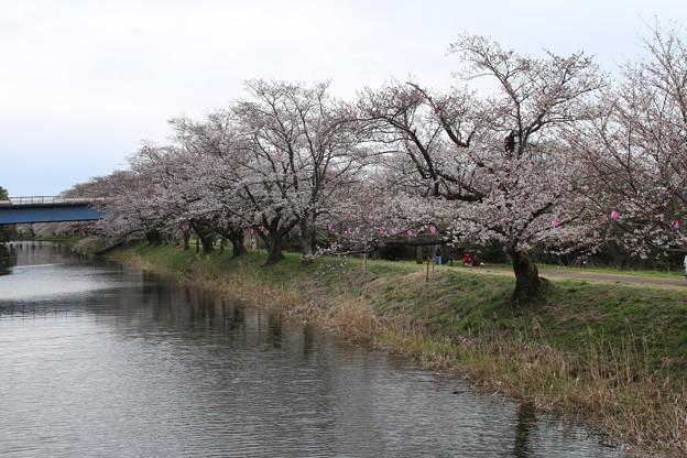 桜_福岡堰 D0620