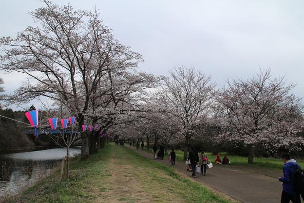 桜_福岡堰 D0621