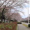 Photos: 桜_学園 D0614