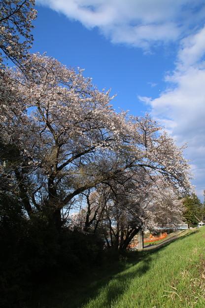 桜_堤防 D0636