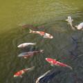 Photos: 池の鯉_新勝寺 D1297
