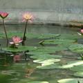 熱帯睡蓮_公園 D1818