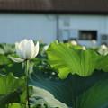 Photos: 蓮_つくば D2721