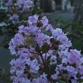 Photos: サルスベリ_散歩 F3634