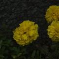 マリーゴールド_公園 F3667