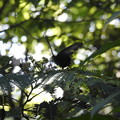 DSCN6168黒いアゲハ