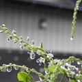 DSCN6502雨粒