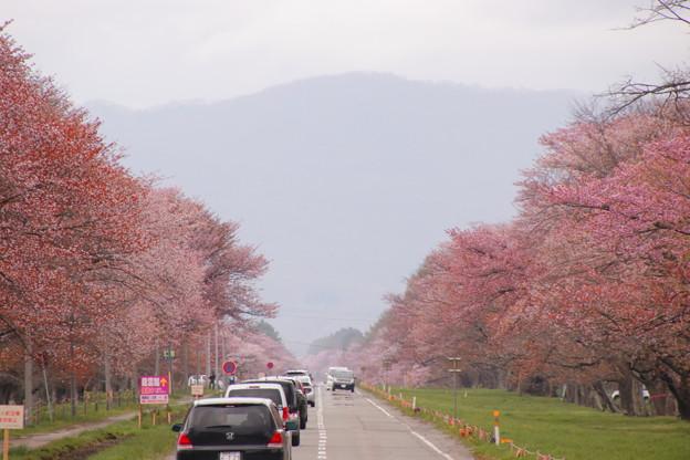 静内二十軒桜ロード