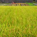 写真: 稔りの田