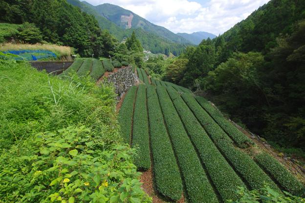 山奥の茶畑