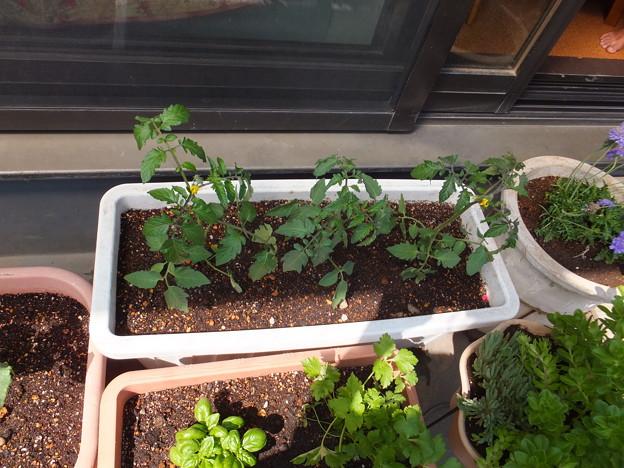今年こそミニトマト大豊作狙います!