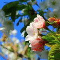写真: 山桜景