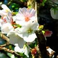 写真: 目につく山桜