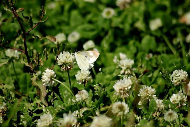 後回しになった蝶
