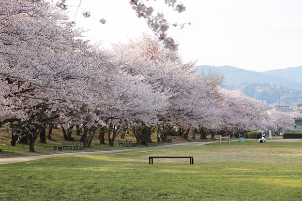 満開の桜とベンチ
