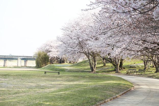 桜とベンチ