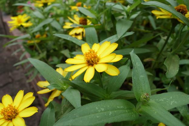 花壇花その1