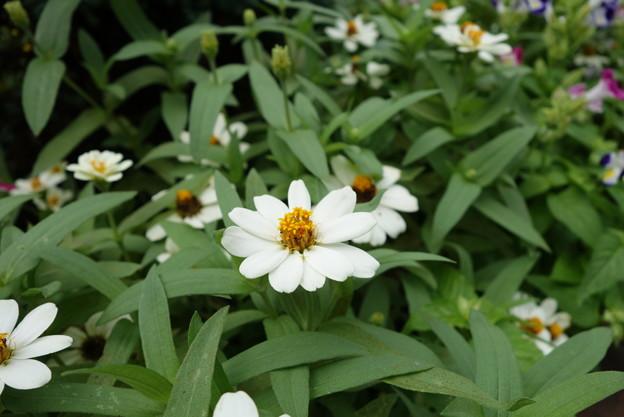 花壇花その2