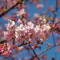 写真: 三浦海岸の桜