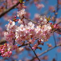 Photos: 三浦海岸の桜