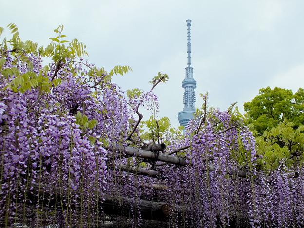 Photos: 亀戸天神の藤