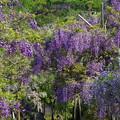 写真: 横須賀しょうぶ園の藤