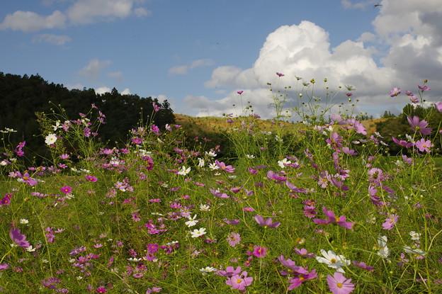 野に咲くコスモス