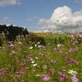 Photos: 野に咲くコスモス