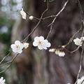 写真: 浄智寺の白梅