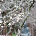 写真: 東慶寺の梅
