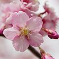 Photos: 小松ヶ池の河津桜