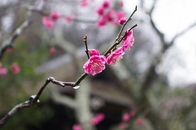 Photos: 雨の東慶寺