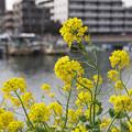 写真: 運河の春