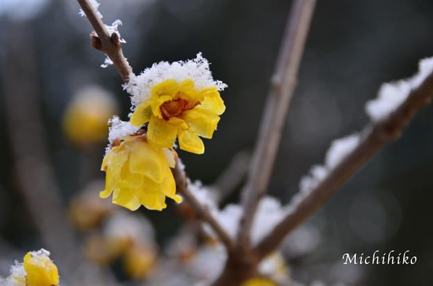 rōbai in the snow